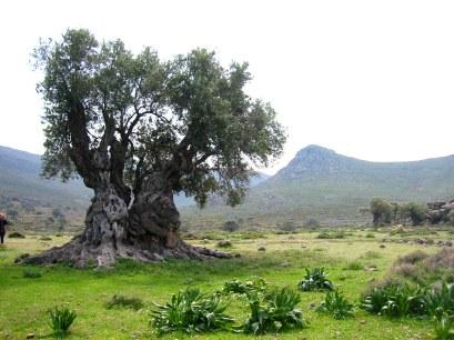 7efaf-olive_tree_4